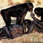 Opice bonobo živijo v skupinah do sto v zibelki človeštva, v osrednji Afriki. Zaradi divjega lova in počasne reprodukcije so ogrožena vrsta, znanstveniki menijo, da jih v krošnjah deževnih gozdov južno od reke Kongo živi manj kot 20.000. Prehranjujejo se s sadjem, oreščki, semeni, gobami, rastlinami, koreninami, rožami, listjem in brstiči dreves. Jedo tudi majhne parazite, insekte, jajčeca, črve in med. Približno sto bonobov živi v ujetništvu živalskih vrtov. (foto: *)