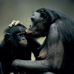 Odrasel bonobo tehta približno 43 kilogramov, samica 33. Njegova življenjska doba je še neznanka, znanstveniki jo ocenjujejo na približno šestdeset let. Samica prvič skoti v trinajstem letu starosti, mladiča neguje do njegovega petega leta. Pri sedmih letih naj bi mladič prešel v pubertetniška leta. (foto: *)