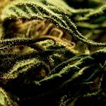 Legalizacija trave (foto: Shutterstock)