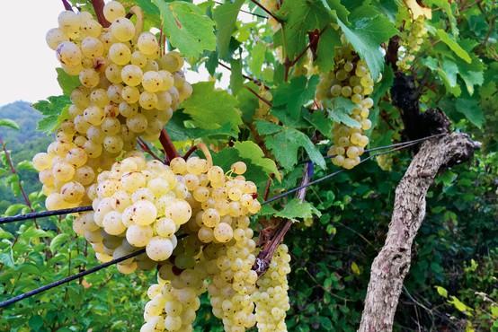 Kobal Wines, najmlajša vinska klet v Sloveniji