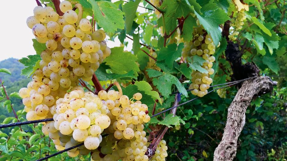 Kobal Wines, najmlajša vinska klet v Sloveniji (foto: Staša Cafuta Trček)