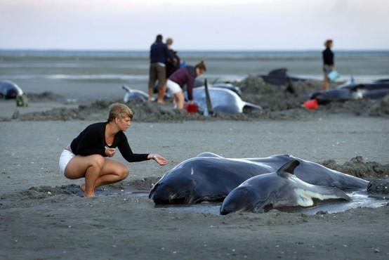 Na obali Nove Zelandije nasedlo več kot 400 kitov, živih še 90!