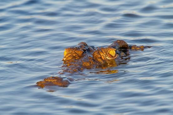 Grozljivo! Krokodil ob reki Zambezi požrl nogometaša!
