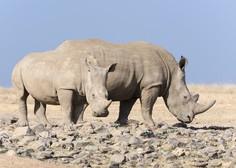 Nosorogi z letalom v Bocvano, da bi ohranili vrsto!