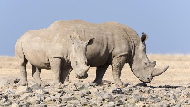 Nosorogi z letalom v Bocvano, da bi ohranili vrsto! (foto: profimedia)