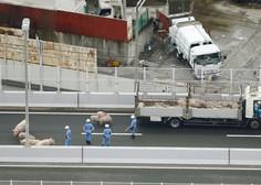 19 prestrašenih prašičev povzročilo kaos na japonski avtocesti!