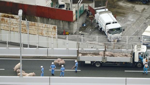 19 prestrašenih prašičev povzročilo kaos na japonski avtocesti! (foto: profimedia)