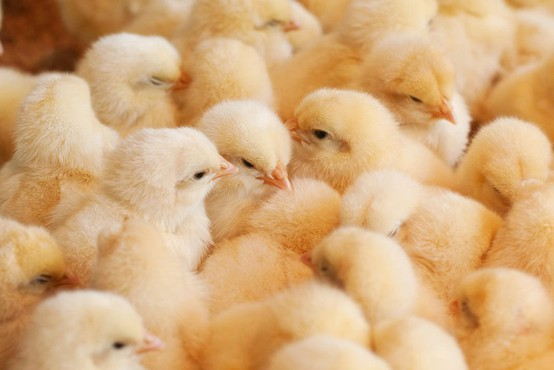 Avstrijsko avtocesto blokiralo na tisoče piščancev