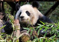Na Kitajskem uspešno izvedli parjenje divje pande in pande v ujetništvu