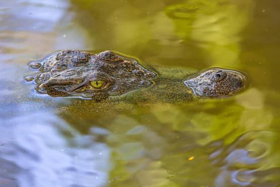 Šrilanka: Krokodil ubil novinarja Financial Timesa!