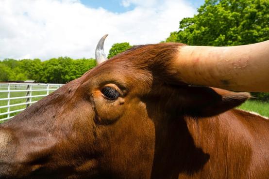 Pobesneli bik na Štajerskem poškodoval dva občana