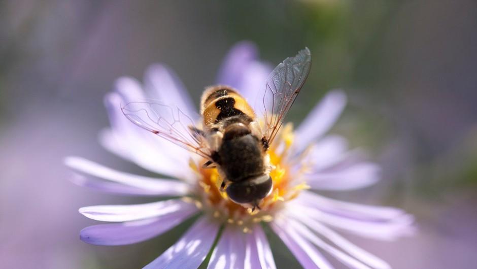 Združeni narodi 20. maj razglasili za svetovni dan čebel (foto: Profimedia)