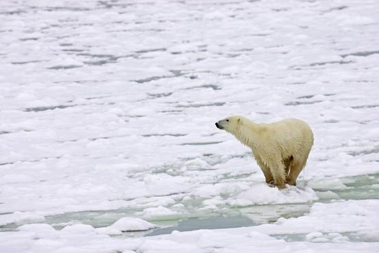 Severni medvedi stradajo zaradi (pre)hitrega taljenja arktičnega ledu!