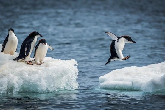 Na oddaljenem otoku Antarktike odkrili 1,5 milijona pingvinov