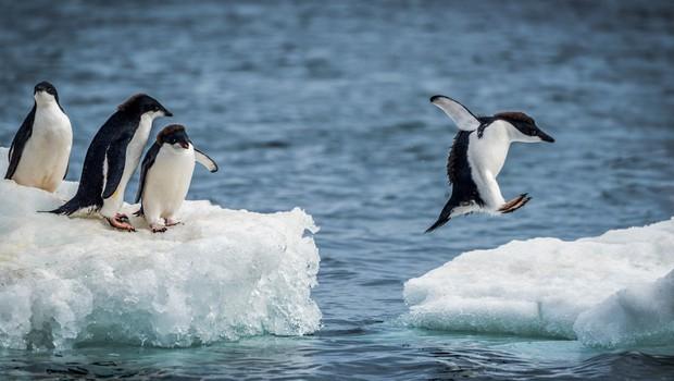 Na oddaljenem otoku Antarktike odkrili 1,5 milijona pingvinov (foto: profimedia)