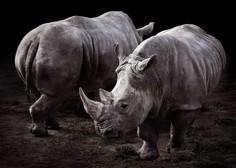 V Keniji je poginil še zadnji samec severnega belega nosoroga!