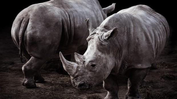 V Keniji je poginil še zadnji samec severnega belega nosoroga! (foto: profimedia)