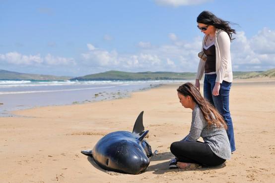 Na avstralski obali nasedlo in poginilo več kot 130 kitov