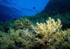 Zaradi ekstremno visokih temperatur morja odmrla tretjina koral