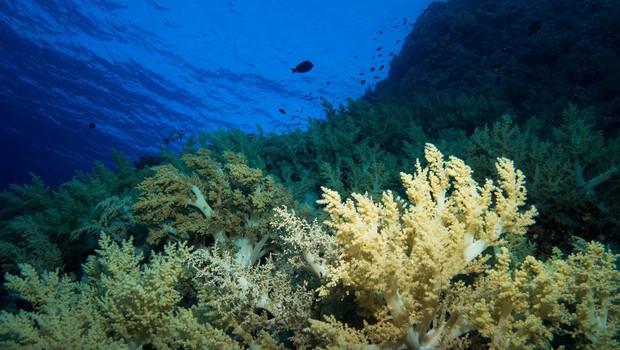 Zaradi ekstremno visokih temperatur morja odmrla tretjina koral (foto: profimedia)