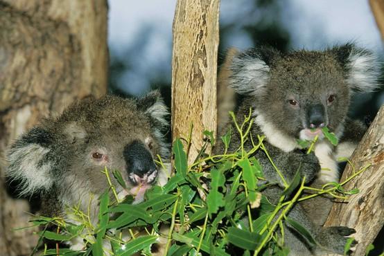 Avstralija želi s programom, vrednim dobrih 28 milijonov evrov, zaščititi koale!