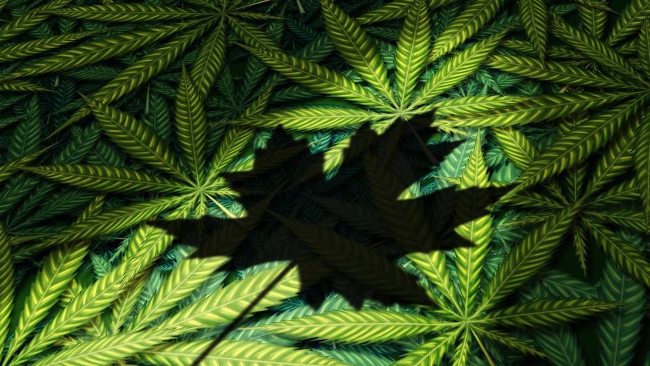 Kanada sprožila postopek za legalizacijo konoplje v rekreativne namene (foto: profimedia)