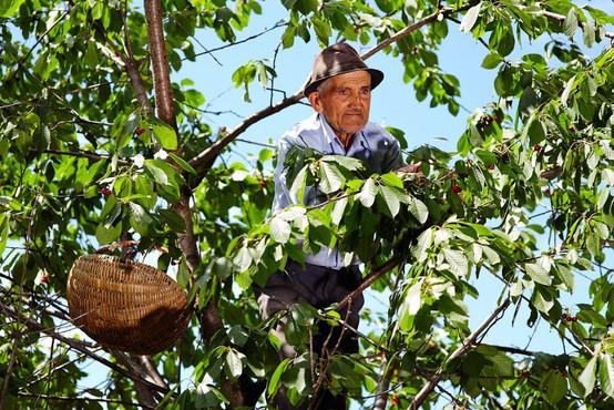 Ljubljanska urgenca ima polne roke dela s seniorji, ki padejo s češnje!