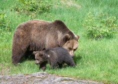 Medvedka z mladičem opažena na Ljubljanskem barju
