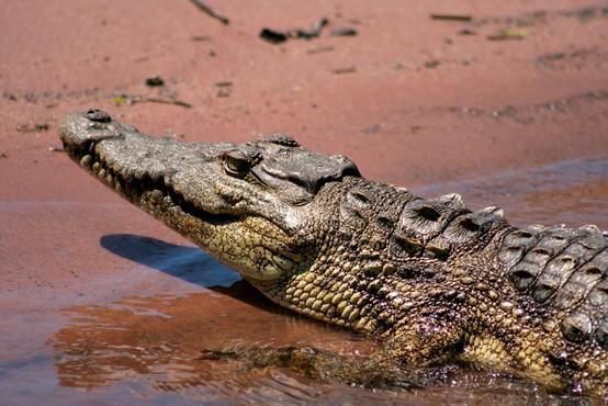 Jezni Indonezijci zaradi smrti sovaščana pokončali 292 krokodilov