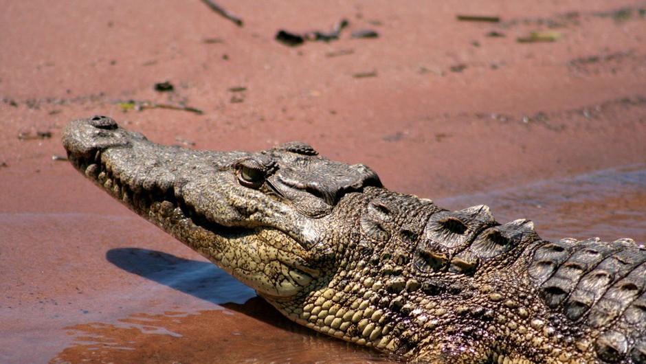 Jezni Indonezijci zaradi smrti sovaščana pokončali 292 krokodilov (foto: profimedia)