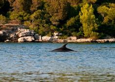 Navadni delfini spet v Jadranskem morju!
