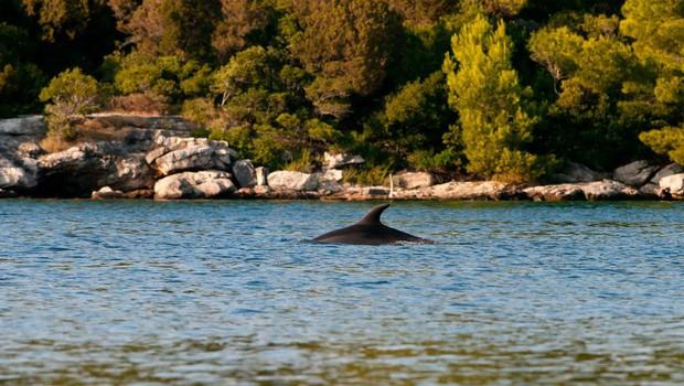 Navadni delfini spet v Jadranskem morju! (foto: Profimedia)