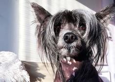 Kitajski goli pes Juky