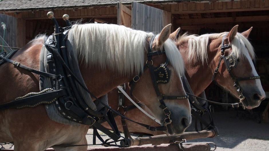 Podivjana konja v Šmartnem ob Paki povzročila nenavadno prometno nesrečo (foto: profimedia)