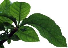 Zdravilnemu perujskemu kininovcu zaradi širjenja plantaž grozi izumrtje