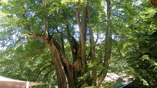 V ujmi poškodovano najdebelejše drevo v državi - Najevska lipa (foto: STA)