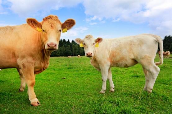 Na referendumu so Švicarji med drugim odločali tudi o kravjih rogovih