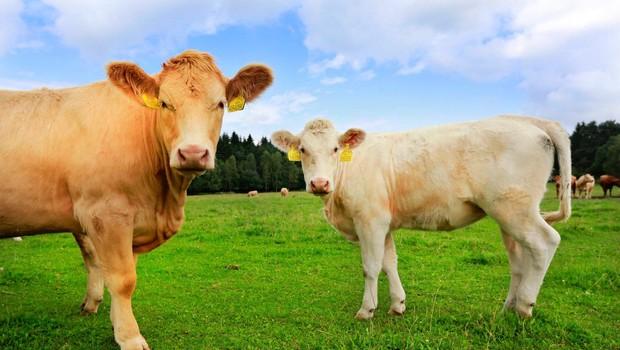 Na referendumu so Švicarji med drugim odločali tudi o kravjih rogovih (foto: profimedia)
