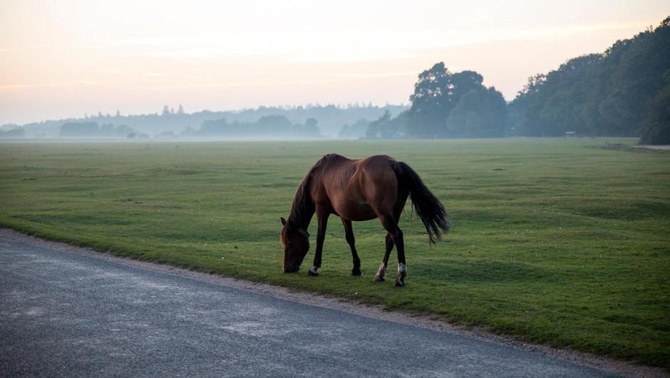 Pobegli konj na Blokah poginil po trčenju z osebnim vozilom (foto: profimedia)