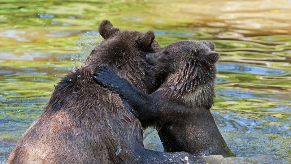 Po napadu na starejšo žensko se je začela akcija za odstrel medvedke (foto: Profimedia)