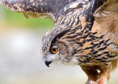 DOPPS: Krivolovca ubila zaščiteno sovo uharico