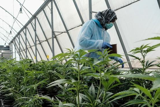 V skladišču v Bruslju je policija zasegla in uničila približno 1800 rastlin konoplje