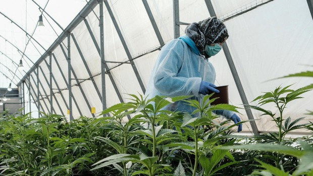 V skladišču v Bruslju je policija zasegla in uničila približno 1800 rastlin konoplje (foto: Profimedia)