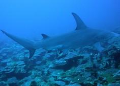 Dve toni težak morski pes se je ujel v mrežo savudrijskega ribiča