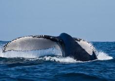 Nenavadna nesreča na morju: Potniška ladja trčila s kitom, blizu sto poškodovanih