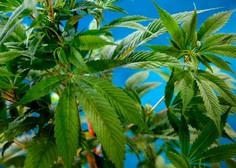 Srbski cariniki blizu mejnega prehoda Gradina zasegli 1,1 tone marihuane