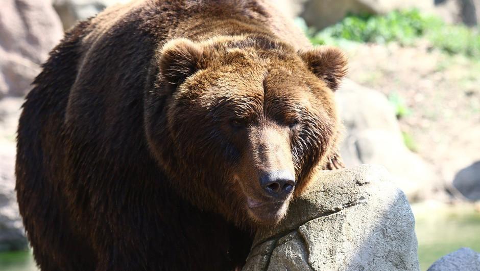 Slovenska medvedka v Franciji in Španiji napadla drobnico in vznemirila kmete (foto: profimedia)