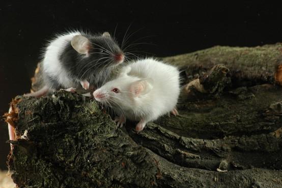 NIJZ: Porast mišje mrzlice v Sloveniji