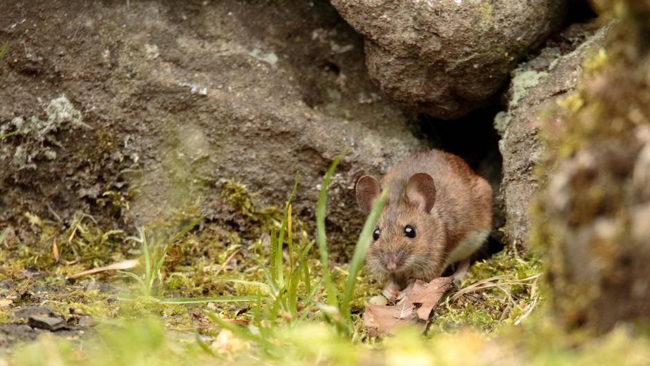 Za mišjo mrzlico v Sloveniji letos zbolelo 94 oseb (foto: Profimedia)