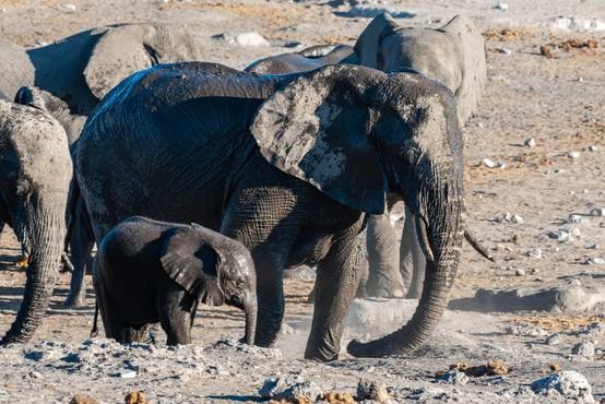Poginilo šest slonov, medtem ko so skušali pomagati slonjemu mladiču!